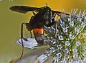 Wasp 422A 0702 & 0708 & 0711 - Poecilopompilus algidus