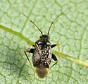Garden Fleahopper - Microtechnites bractatus