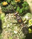 Wasp - Anastatus