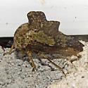 Treehopper 2011.05.26.3735 - Heliria cristata