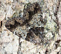 camouflaged moth - Allotria elonympha