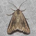 Verbena Moth - Hodges#9661 - Crambodes talidiformis