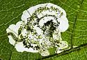 Unidentified leaf miner - Aspilanta hydrangaeella
