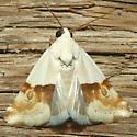 Moth - Ponometia elegantula