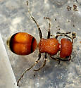 Velvet Ant - Pseudomethoca simillima - female
