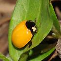 Coccinella septempunctata ? - Coccinella septempunctata