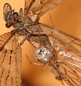 Who is eating whom? - Chauliodes pectinicornis