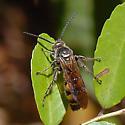 ID for a Hymenopteran? - Dielis plumipes