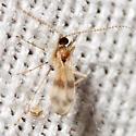 Gall Midge - Lestodiplosis - male