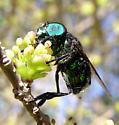 Another Ornidia - Ornidia obesa - male