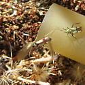 Tarplant bug - Tupiocoris