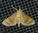 Texas SE Gulf Coast - Niphograpta albiguttalis