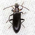 Beetle - Statira basalis