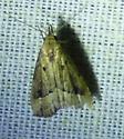 unknown moth - Schrankia macula