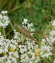 Katydid Identification - Conocephalus fasciatus - male