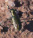 Tiger Beetle ? green and gold - Cicindelidia punctulata