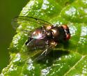 unidentified Diptera - Melanagromyza