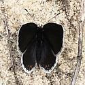 Lil black butterfly - Cupido comyntas