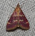 Pyraustinae - Pyrausta signatalis