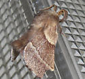 Hairy moth - Malacosoma incurvum - male