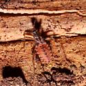 Homalocoris Assassin Bug Nymph - Homalocoris