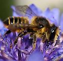 Megachile - Megachile centuncularis - female