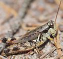 Melanoplus fasciatus? - Melanoplus fasciatus - female