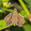 butterfly-Skipper family - Panoquina ocola