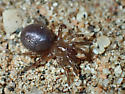 Spider - Bothriocyrtum californicum