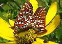 Snowberry Checkerspots - Euphydryas chalcedona - male - female