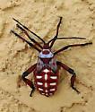 Hemiptera. Immature - Thasus neocalifornicus