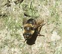 on the tree trunk - Cephenemyia phobifer