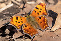 Orange butterfly in Montreal - Polygonia interrogationis