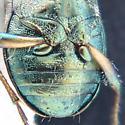 Beetle - Elaphrus californicus