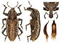 Listronotus blatchleyi - male