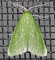Small Emerald - Synchlora faseolaria - male