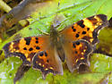 comma butterfly - Polygonia faunus