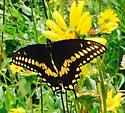 Papilio? - Papilio polyxenes - male