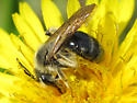 Bee in Dandelion - Andrena