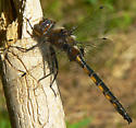 Beaverpond Baskettail - Epitheca canis - male