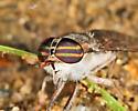 Tabanus pumilus - female