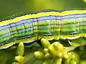 caterpillar - Cucullia asteroides