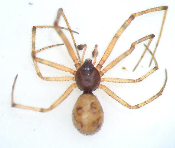 November spider - Steatoda triangulosa - male