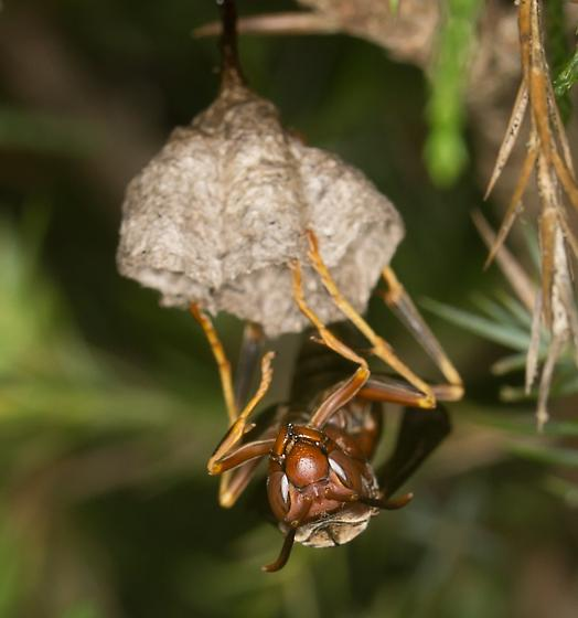 Wasp - Polistes