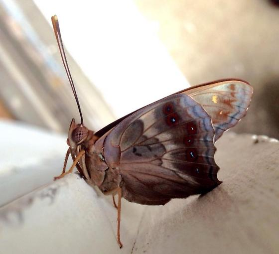Butterfly warming itself on door frame - Asterocampa clyton