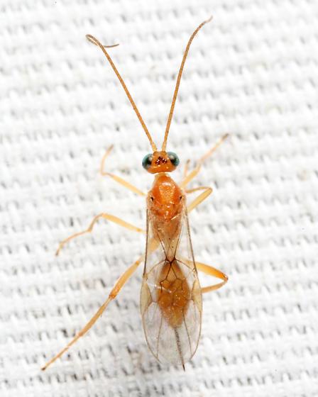 wasp - Meteorus - female