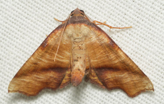 orange and white moth - Plagodis fervidaria - male