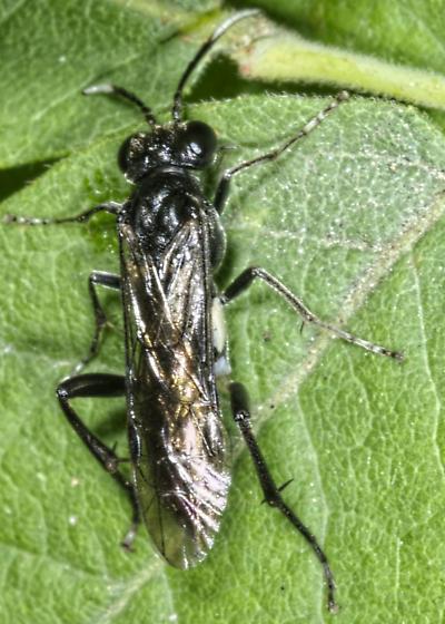Macrophya nigra?