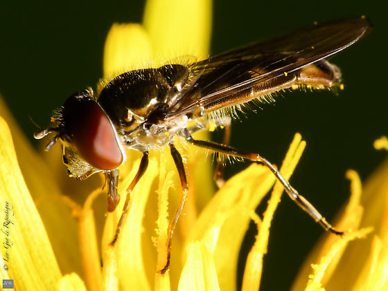 Diptera. Syrphidae. - Platycheirus obscurus