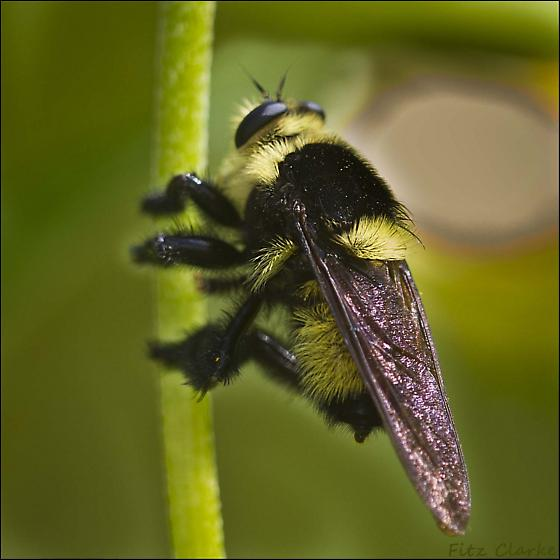 Bumble Bee-Like Robber Fly, ID Please - Mallophora orcina